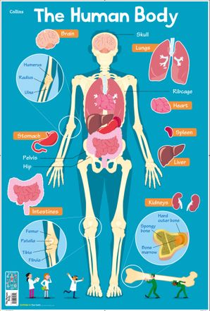 Human Body (Collins Children's Poster)   by Steve Evans